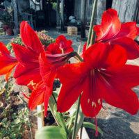 アマリリスの花言葉|色別の意味や花の種類、見頃の時期は?の画像