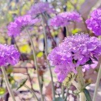 スカビオサ(マツムシソウ)の花言葉|白や紫などの品種、花の楽しみ方は?の画像