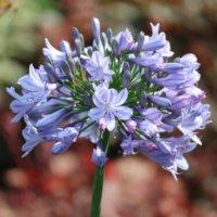 アガパンサスの花言葉|花の特徴、白やピンクなどの種類は?の画像