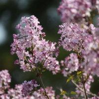 ライラックの花言葉|色によって怖い意味もある?種類、花の香りの特徴は?の画像