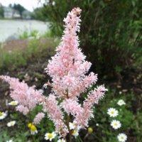 アスチルベの花言葉|意味や花の特徴、ピンクや白などの種類は?の画像