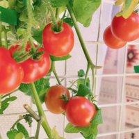 ミニトマト(プチトマト)の種類|食べやすい品種や栄養は?の画像