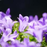 カンパニュラの花言葉|種類や花の特徴、花束におすすめ!の画像