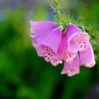 ジギタリスの花言葉|怖い意味や中毒性がある?種類や花の特徴は?の画像