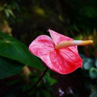アンスリウムの花言葉|色別の意味や種類、花の特徴は?の画像