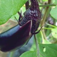 ナス(茄子)の育て方|剪定、誘引、収穫のコツは?プランター栽培もできる?の画像
