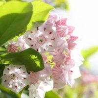 カルミアの花言葉|怖い意味がある?種類や特徴、毒性は?の画像