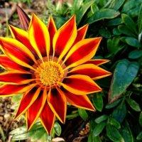 ガザニアの花言葉|種類や由来、花の特徴は?の画像