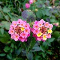 ランタナの花言葉|花の特徴や種類、白やピンクなど七変化を楽しめるの画像