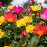 ポーチュラカの花言葉|種類や花の特徴、寄せ植えの楽しみ方の画像