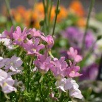 ネメシアの花言葉|様々な種類の寄せ植えでガーデニングを楽しもうの画像