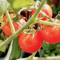 ミニトマトの育て方|支柱立てやプランター栽培のコツは?わき芽はどうする?の画像
