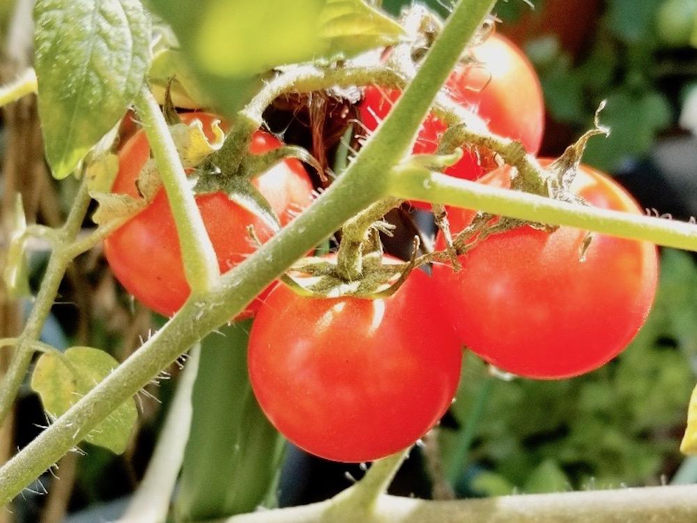 ミニトマトの育て方|水やりの頻度は?支柱立てやお手入れの仕方は?の画像