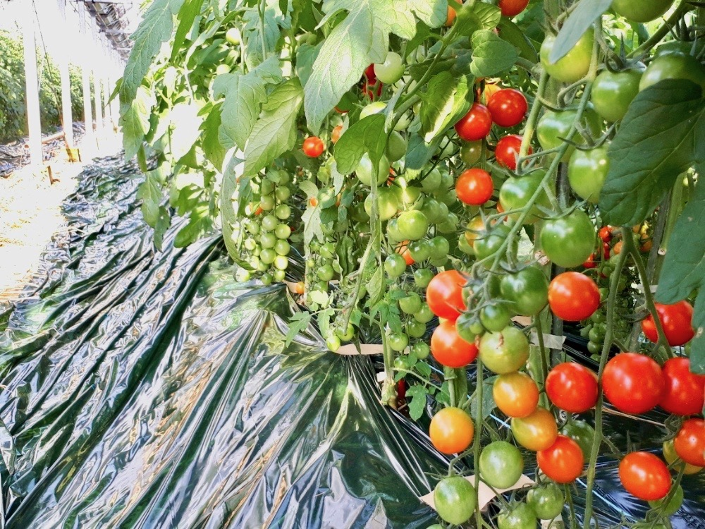 菜園 ミニ トマト 家庭 家庭菜園のミニトマトの皮が固い!甘くない!簡単な方法で絶品に
