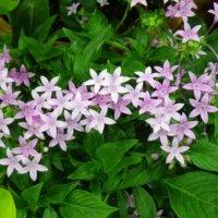ペンタスの花言葉|種類や品種は?花の特徴は?の画像