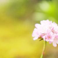 アルメリアの花言葉|種類や品種、花の特徴は?の画像