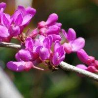 ハナズオウ(花蘇芳)の花言葉|由来や花の品種、怖い意味がある?の画像