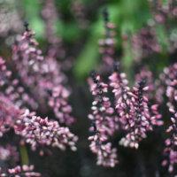 カルーナの花言葉|種類や花の特徴、寄せ植えにもおすすめの画像