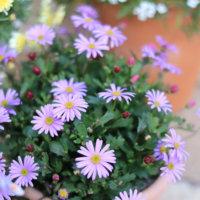 ブラキカムの花言葉|種類や花の特徴、春のガーデニングにおすすめの画像