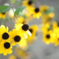 ルドベキアの花言葉|種類や花の特徴、プレゼントにおすすめ?の画像