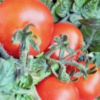 トマトの水耕栽培|キットの簡単な自作方法や肥料の与え方は?の画像