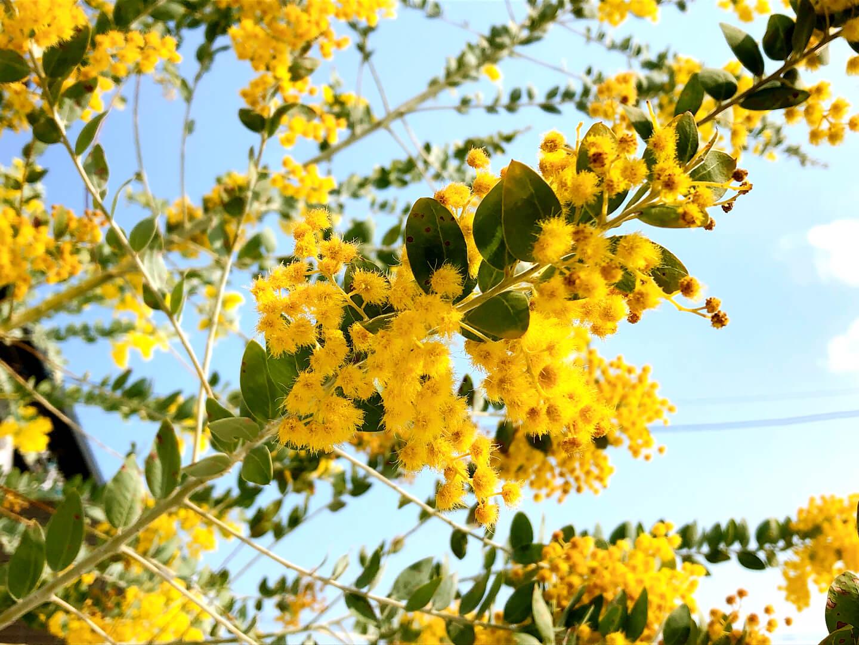 アカシアの花言葉|色別の意味や種類、花の特徴は?|🍀GreenSnap ...
