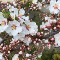 ユスラウメ(梅桃)の花言葉|花の特徴や実の味、食べ方は?の画像