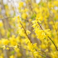 レンギョウ(連翹)の花言葉|種類や花の特徴、薬のとしての効能は?の画像