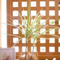 ドラセナ(幸福の木)の花言葉|花は咲く?風水の効果とは?の画像
