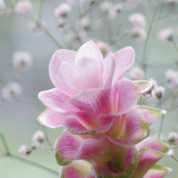 クルクマの花言葉|種類や花の特徴、ガーデニングでおすすめの画像