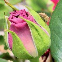 バラ(薔薇)の肥料|与え方のコツや時期は?どんな効果が得られるの?の画像