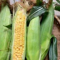 トウモロコシの受粉|目的や時期、方法や受粉後の収穫は?の画像
