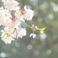 散歩道&おうちで!春をいろどった今年流の桜の楽しみ方とは?の画像