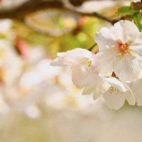 桜(サクラ)の育て方|肥料や水やりの方法は?鉢植えのコツは?の画像