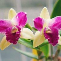 カトレアの花言葉|色別の意味や花の特徴は?の画像
