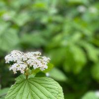 ガマズミの花言葉|実や花の特徴、種類は?の画像
