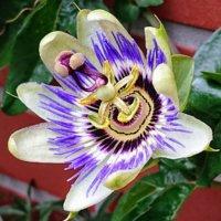 トケイソウ(時計草)の花言葉 種類や花の特徴、グリーンカーテンに使える?の画像