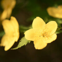 ヤマブキ(山吹)の花言葉|花の特徴や由来、種類はあるの?の画像
