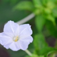 オシロイバナの花言葉|花の特徴や種類、毒があるの?の画像