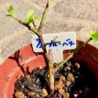 ブルーベリーの挿し木|2つの方法とは?成功させるコツは?の画像