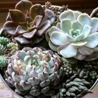 多肉植物の育て方|季節ごとの水やりや植え替え、増やし方は?の画像