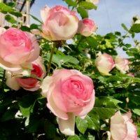 バラ(薔薇)の種類|どんな色の花を咲かせる?花壇向きなのは?の画像