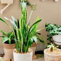 サンスベリア(トラノオ)の育て方|季節ごとの水やり加減や置き場所は?の画像