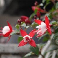 フクシアの花言葉|色別の意味や種類、花の特徴は?の画像
