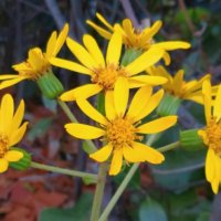 ツワブキの花言葉|種類や品種、花の特徴は?の画像