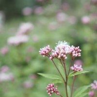 フジバカマ(藤袴)の花言葉|種類や花の特徴、香りや効能は?の画像