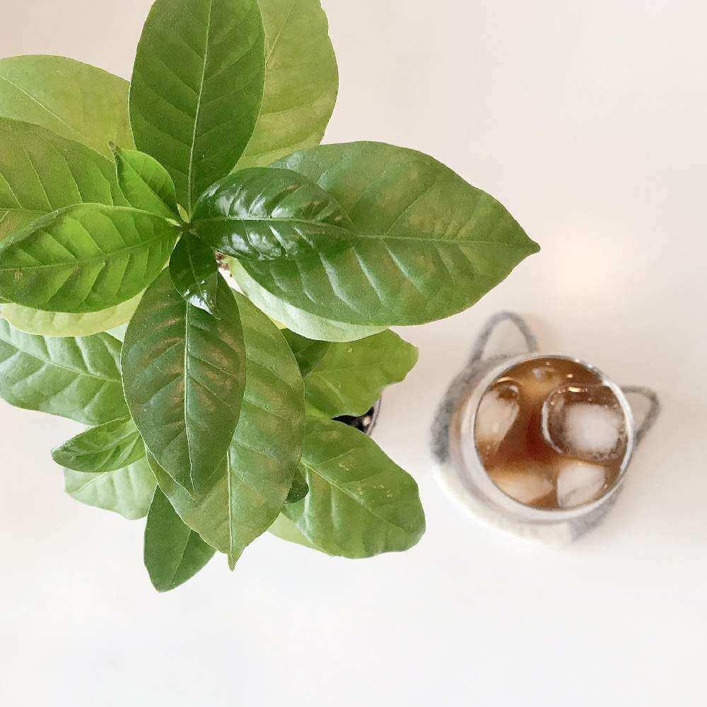 コーヒー の 木 風水