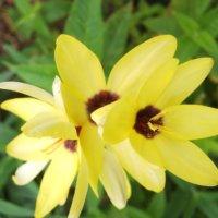 イキシアの花言葉|意味や由来は?花の種類や特徴、楽しみ方は?の画像