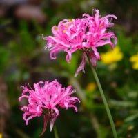 ダイヤモンドリリー(ネリネ)の花言葉|花の特徴や白などの種類は?の画像
