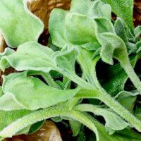 食べれる多肉植物⁉︎6月に種まき&植え付けする野菜おすすめ8選の画像